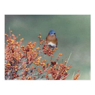 Eastern Bluebird Post Card