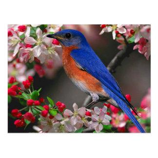 Eastern Bluebird Postcard