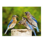 Eastern Bluebird Postcard