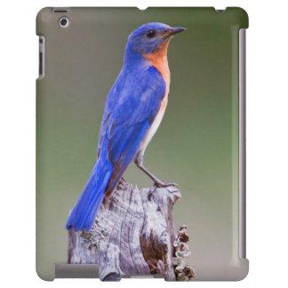 Eastern Bluebird (Sialia Sialis) Adult Male