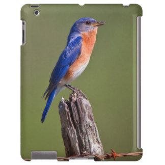 Eastern Bluebird (Sialia Sialis) Adult Male 2