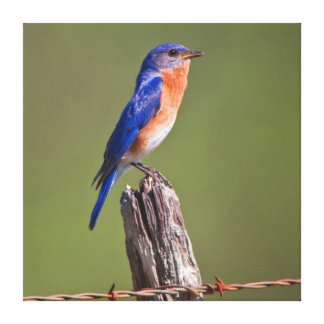 Eastern Bluebird (Sialia Sialis) Adult Male 2 Canvas Print
