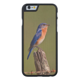 Eastern Bluebird (Sialia Sialis) Adult Male 2 Carved® Maple iPhone 6 Case