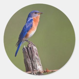 Eastern Bluebird (Sialia Sialis) Adult Male 2 Classic Round Sticker