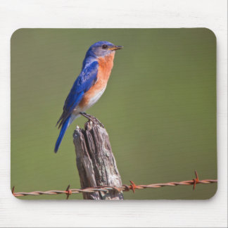 Eastern Bluebird (Sialia Sialis) Adult Male 2 Mouse Pad