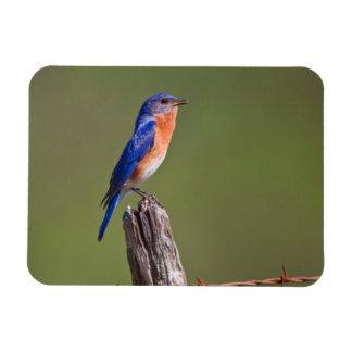Eastern Bluebird (Sialia Sialis) Adult Male 2 Rectangular Photo Magnet