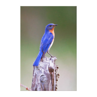 Eastern Bluebird (Sialia Sialis) Adult Male Canvas Print