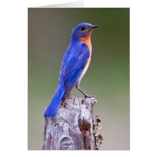Eastern Bluebird (Sialia Sialis) Adult Male Card