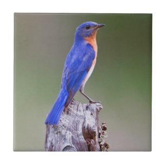Eastern Bluebird (Sialia Sialis) Adult Male Ceramic Tile