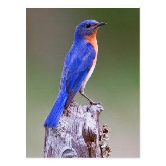 Eastern Bluebird (Sialia Sialis) Adult Male Post Card