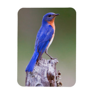 Eastern Bluebird (Sialia Sialis) Adult Male Rectangular Photo Magnet