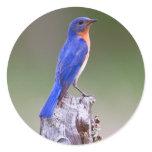 Eastern Bluebird (Sialia Sialis) Adult Male Classic Round Sticker