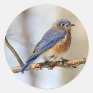 Eastern Bluebird Stickers