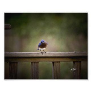 Eastern Bluebird Wall Decor Photo