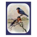 Eastern Bluebirds with Baby Bird Postcard