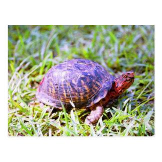 Eastern Box Turtle Louisiana Postcard