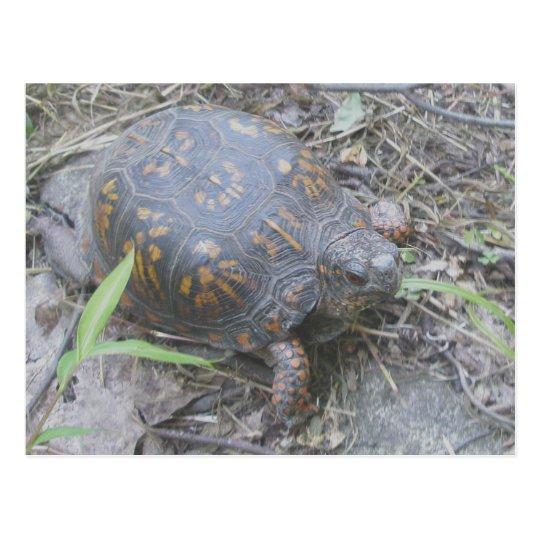 Eastern Box Turtle Postcard #1