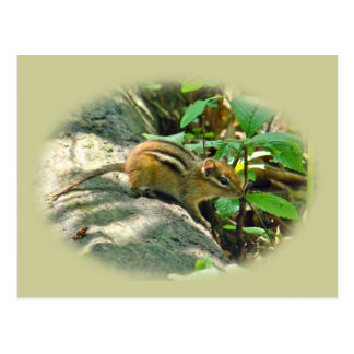 Eastern Chipmunk on Stump Postcard