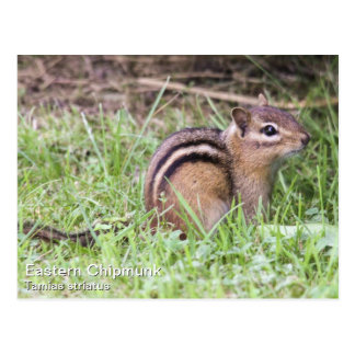 Eastern Chipmunk Postcard