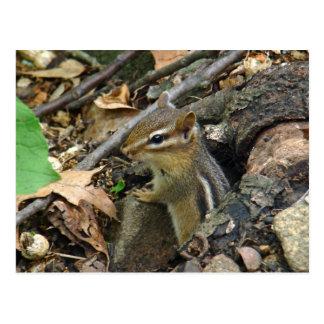 Eastern Chipmunk - Tamias striatus Postcard