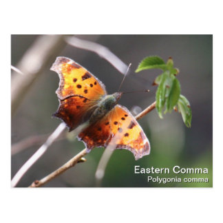 Eastern Comma Postcard