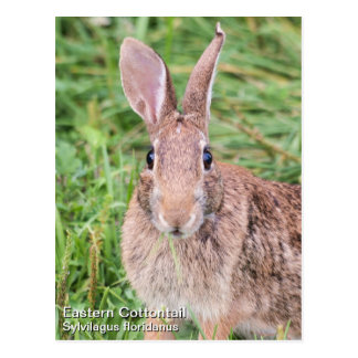Eastern Cottontail Postcard
