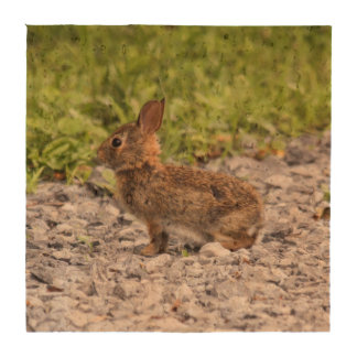 Eastern Cottontail Coasters