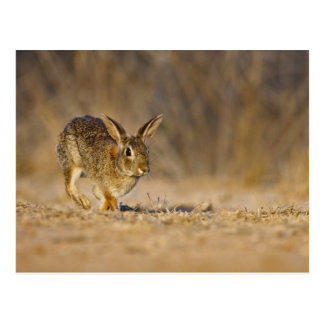 Eastern cottontail rabbit hopping post cards