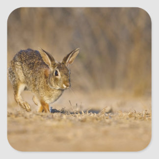 Eastern cottontail rabbit hopping square sticker