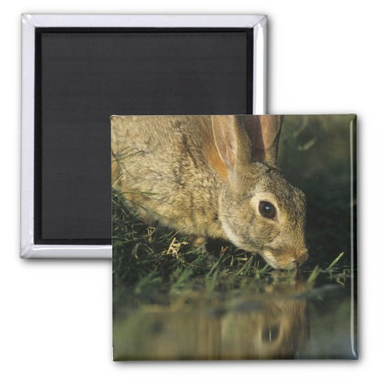 Eastern Cottontail, Sylvilagus floridanus, 2 Magnet