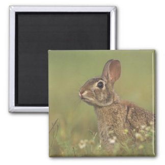 Eastern Cottontail, Sylvilagus floridanus, 3 2 Inch Square Magnet