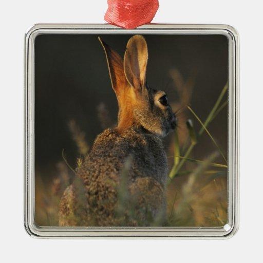 Eastern Cottontail, Sylvilagus floridanus, Square Metal Christmas Ornament