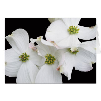 Eastern Dogwood Blossoms - Cornus florida Card