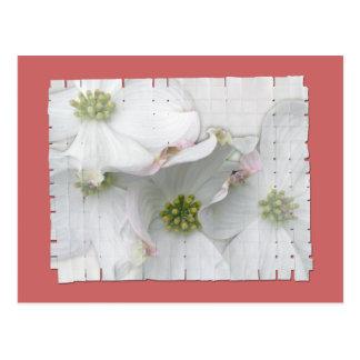 Eastern Dogwood Blossoms - Cornus florida Postcard