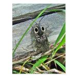 Eastern Eyed Elater Click Beetle - Alaus oculatus Postcard