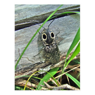 Eastern Eyed Elater Click Beetle - Alaus oculatus Post Card