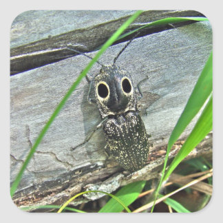 Eastern Eyed Elater Click Beetle - Alaus oculatus Square Sticker