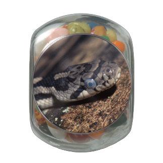 eastern fox snake glass jars