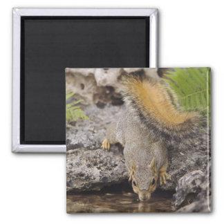 Eastern Fox Squirrel, Sciurus niger, adult 2 2 Inch Square Magnet
