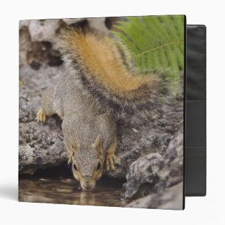 Eastern Fox Squirrel, Sciurus niger, adult 2 Binder
