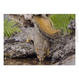 Eastern Fox Squirrel, Sciurus niger, adult 2 Card