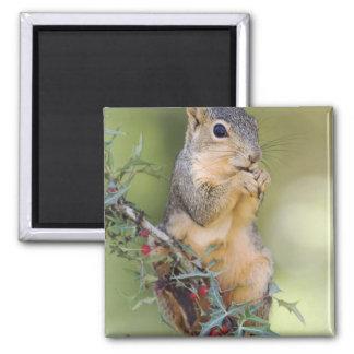 Eastern Fox Squirrel, Sciurus niger, adult 2 Inch Square Magnet