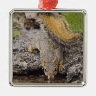 Eastern Fox Squirrel, Sciurus niger, adult 2 Metal Ornament