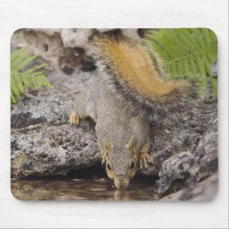 Eastern Fox Squirrel, Sciurus niger, adult 2 Mouse Pad