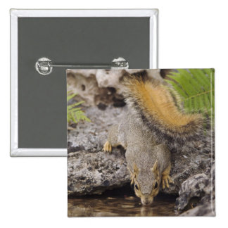 Eastern Fox Squirrel, Sciurus niger, adult 2 Pinback Button