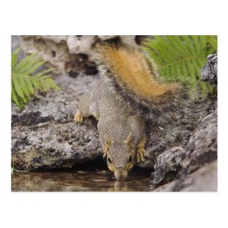 Eastern Fox Squirrel, Sciurus niger, adult 2 Postcard
