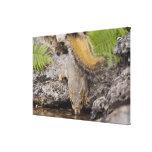 Eastern Fox Squirrel, Sciurus niger, adult Canvas Print