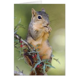 Eastern Fox Squirrel, Sciurus niger, adult Card