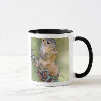 Eastern Fox Squirrel, Sciurus niger, adult Mug