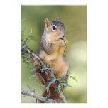 Eastern Fox Squirrel, Sciurus niger, adult Photo Print